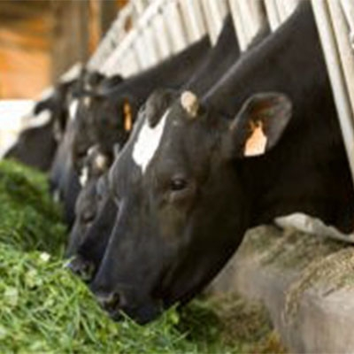 vaches herbe